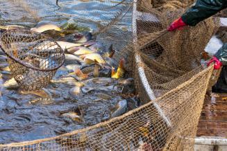 В 1-м полугодии инвестиции в рыбную отрасль РФ выросли вдвое