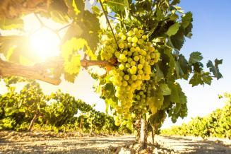 Ученые в Крыму планируют к осени 2021 года получить первые саженцы винограда из пробирки