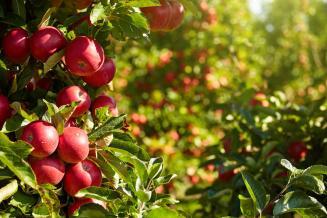 Производство плодово-ягодной продукции в Краснодарском крае за пять лет выросло на 53%