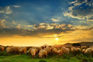 Господдержка помогла заметно увеличить поголовье овец в хозяйствах Северной Осетии