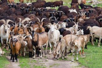ВСамарской области увеличилось поголовье свиней, овец икоз