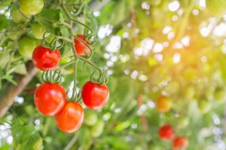 Самообеспеченность Колымы овощами может достигнуть 70%