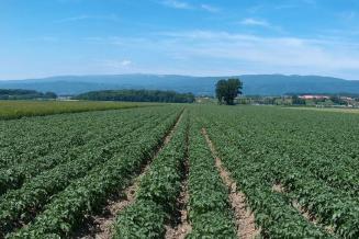 К 4 августа Приморье занимает 10-е место в России посбору картофеля