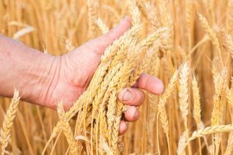 ФАО ждет рекордного урожая зерна в мире