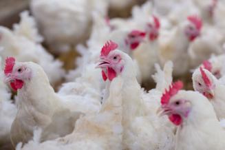 В Приморском крае начало активно развиваться птицеводство
