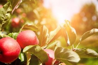 Нижегородские аграрии собирают первый урожай яблок в садах, заложенных в 2018 году