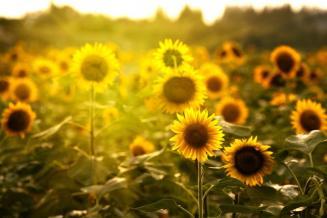 Минсельхоз ожидает урожай подсолнечника в этом году на уровне средних многолетних значений