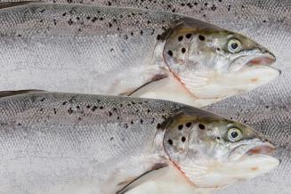 На Чукотке завершилась ежегодная лососевая путина
