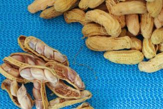 Чеченские ученые в сентябре планируют собрать первый в республике урожай арахиса