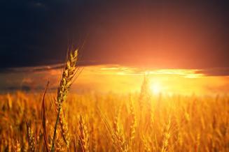 Bloomberg признало господство России на мировом рынке пшеницы