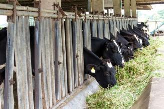 100 холмогорских коров отправятся из Коми в Якутию