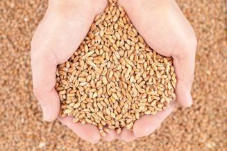 Египет нарастит производство пшеницы