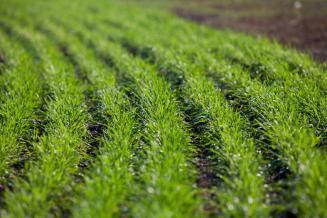 В США план сева озимой пшеницы выполнен на 35%