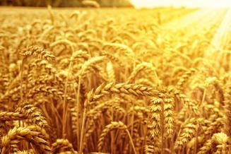 Минсельхоз повысил прогноз сбора зерна в 2020 году