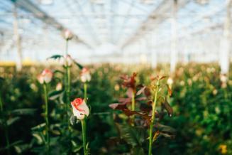 Розы для поставок в Японию и регионы ДФО будут выращивать на Сахалине