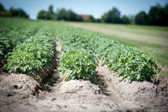 В нескольких районах Ярославской области отменен карантин по золотистой картофельной нематоде