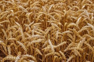 Курская область занимает второе место в ЦФО по объему намолоченного зерна