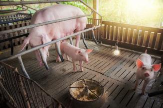 В Тверской области за год поголовье свиней увеличилось на 34,5%