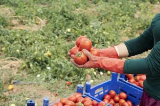 В Республике Крым отмечается высокая урожайность овощей открытого грунта