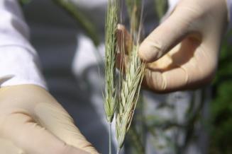 Российские ученые выделили эффективные масла для создания противогрибковых биопрепаратов