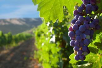 В Краснодарском крае идет уборка винограда
