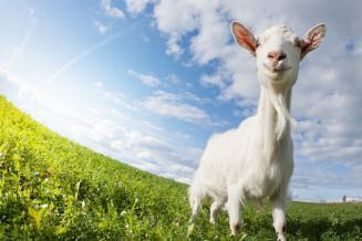 Поголовье овец и коз в сельхозорганизациях Кировской области выросло до 2,8 тыс. голов