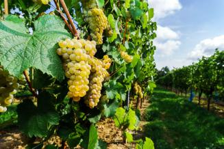 На Ставрополье идет уборка винограда