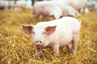 В Китае наблюдается быстрое восстановление производства свинины после АЧС