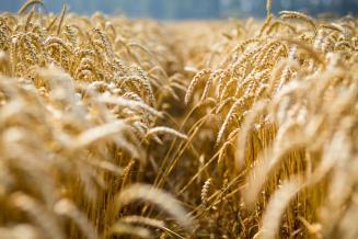 М. Мишустин: урожай зерна в России позволяет наращивать экспорт