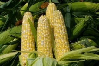 Кабардино-Балкария лидирует в СКФО по намолоту зерна кукурузы