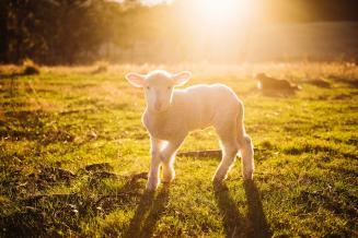 В Ингушетии поголовье овец и коз за год увеличилось на 17,6%