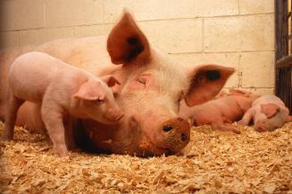 В сельхозорганизациях Костромской области за год поголовье свиней увеличилось наполовину