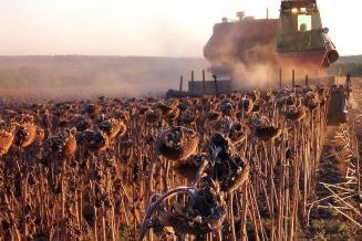В Алтайском крае убрано 60% посевов подсолнечника