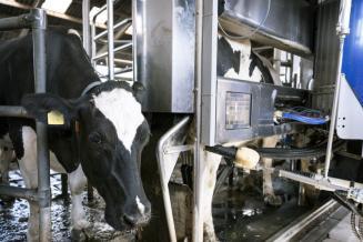 В Марий Эл начала работать первая роботизированная молочная ферма