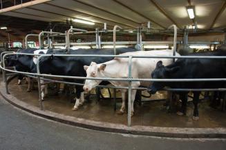 Объем реализации молока в сельхозорганизациях вырос на 6,2%