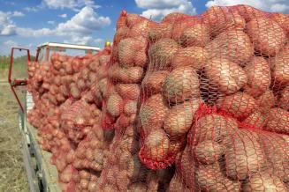 В Брянской области накопано на 22% больше картофеля, чем во всей Беларуси