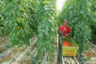Инвесторам компенсируют 20% вложений в развитие  тепличного овощеводства на Дальнем Востоке
