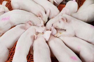Производство продукции свиноводства увеличилось на 10,4%