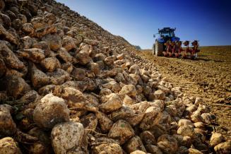 В Татарстане завершилась уборка сахарной свеклы