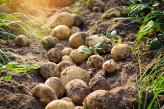 ВТверской области накопано 132,1тыс.т картофеля