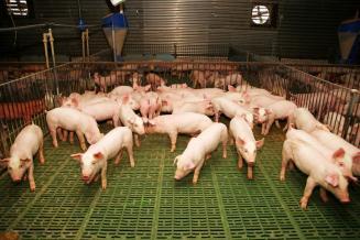 Резидент ТОР «Камчатка» открыл крупнейший в регионе свинокомплекс