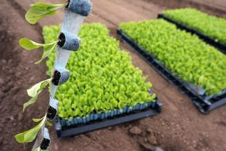 Автоматизация пересадки растений помогает сократить расходы аграриев