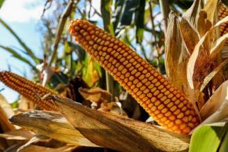 У кукурузы в Томской области хорошие перспективы