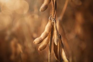 В Приморье намолочено 244 тыс. тсои, убрано 62% посевов