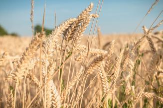 Производство твердых сортов пшеницы в России к 2025 году вырастет в 2,6 раза