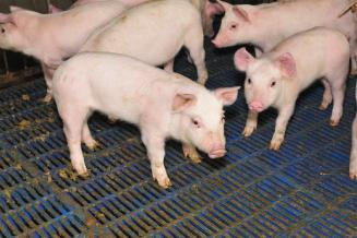 Производство свинины в 2020 году вырастет на 9%