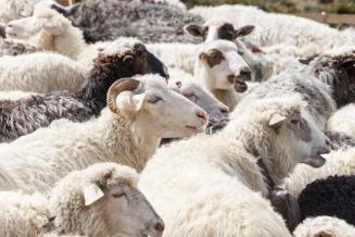 Поголовье мелкого рогатого скота в Туве в 2020 году выросло на почти 11%