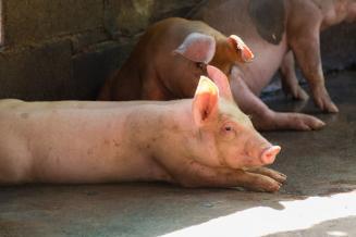 Минсельхоз: производство свиней в живом весе в РФ к 2025 году вырастет до 6 млн т