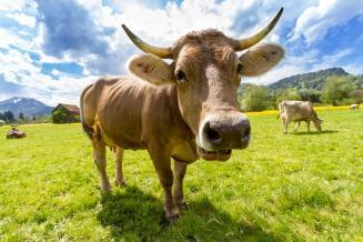Поголовье крупного рогатого скота в Ингушетии увеличилось на 4,9%