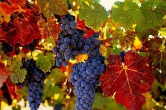 40% российского винограда в 2020 году было произведено на Кубани
